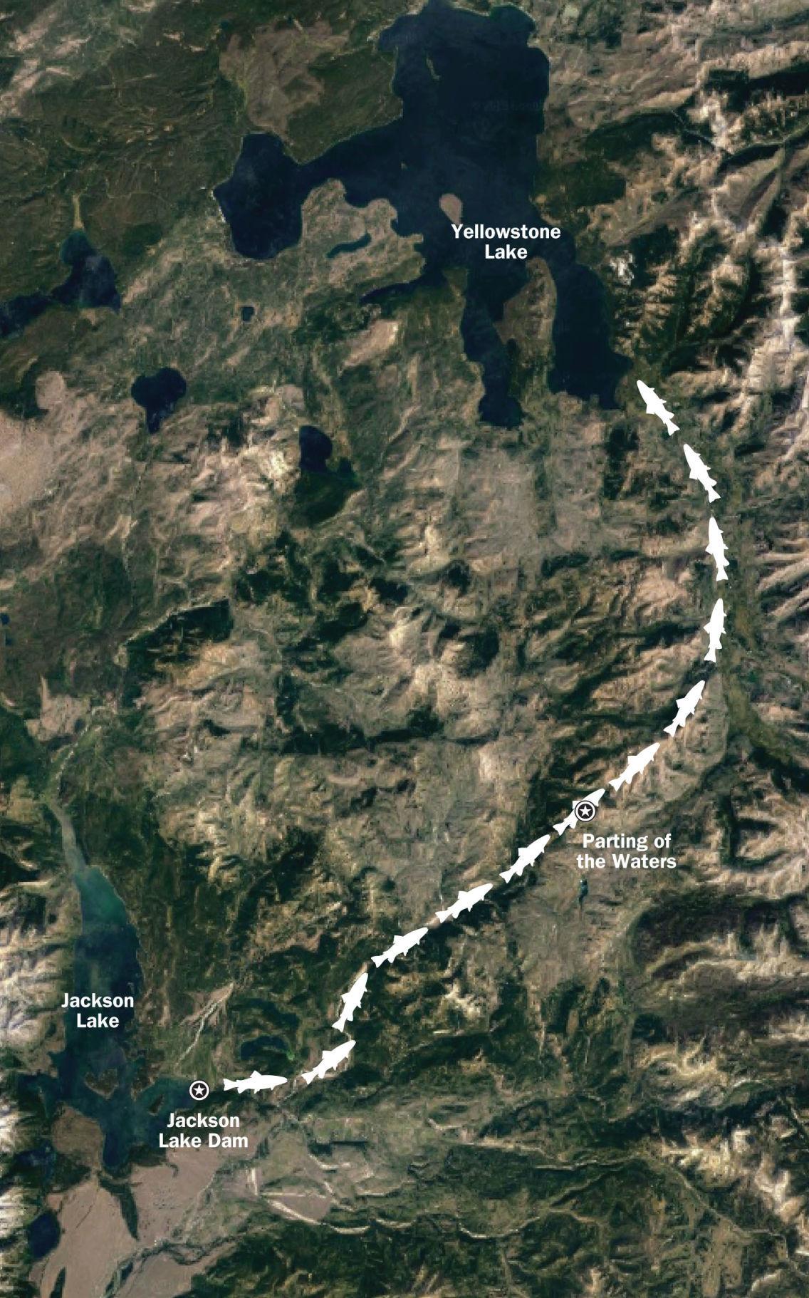 Yellowstone lake trout
