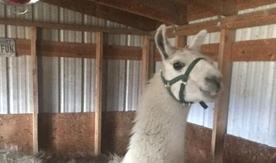 Lost-then-found Yellowstone llama's toothache worsens   The