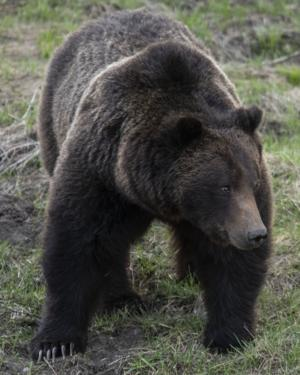 Appeals court rules on Yellowstone grizzlies, bears keep protections