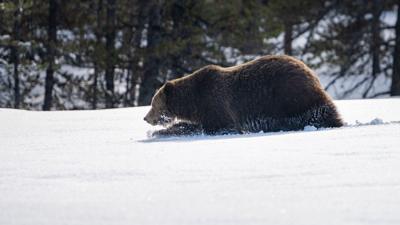 Grizzlies emerge