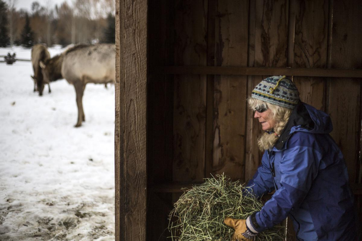 Elk in Wilson
