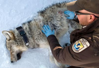 Wolf collaring