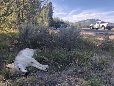 Wolf killed in Grand Teton National Park