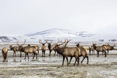 National Elk Refuge count