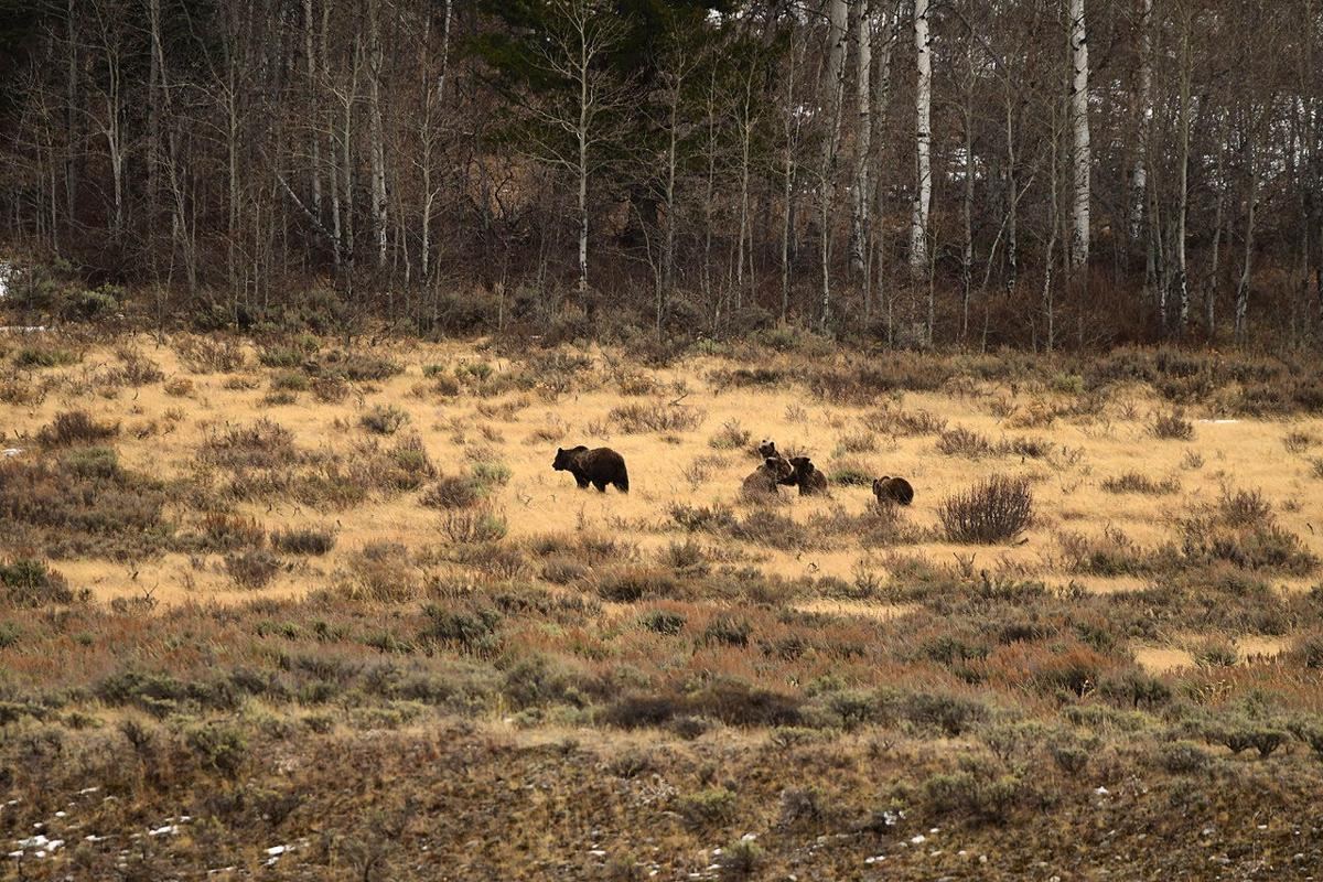 Grizzly 399 and cubs