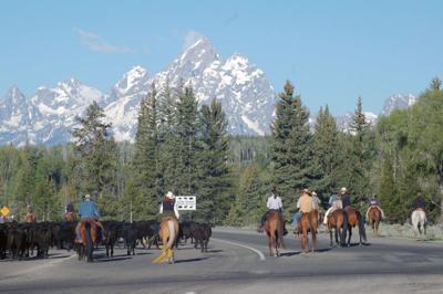 Cattle drive in Teton Park