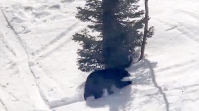 Black bear at JHMR