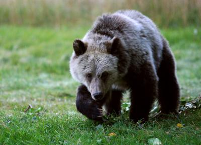 Grizzly hunt numbers