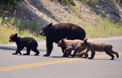 Fed bear dead bear