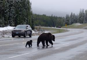 Update: Grizzly 863 moving normally, near cub sightings