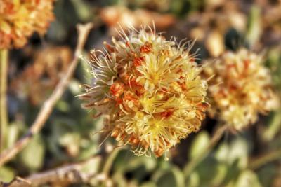 US Rare Wildflower Nevada Lithium Mine