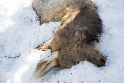 Emaciated elk carcasses