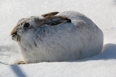White tailed jackrabbit