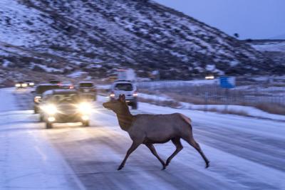 Elk crossing Highway 89