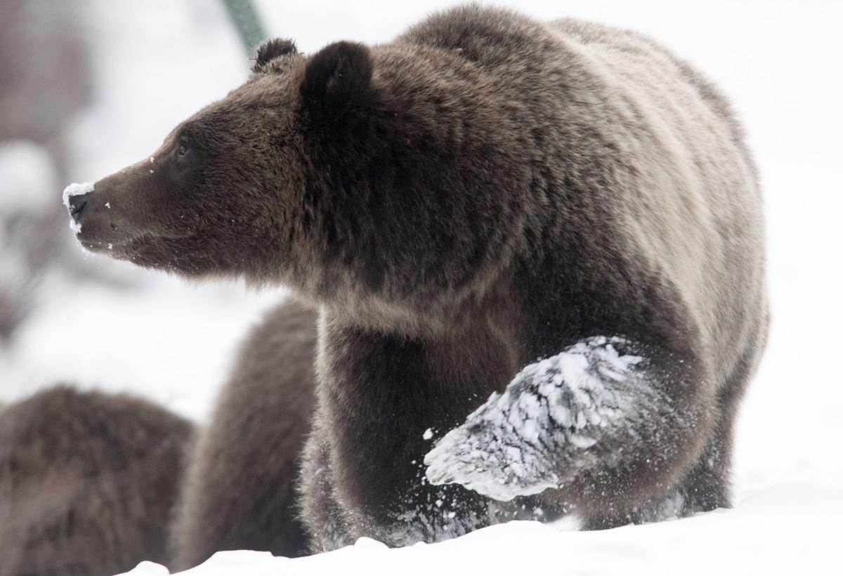 Fringe zone' grizzlies are in the crosshairs | Environmental