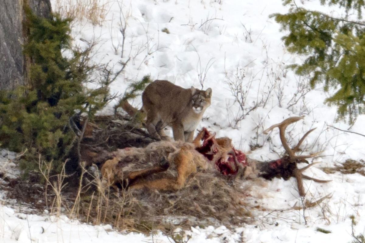 Elk Refuge cougar draws a big crowd | Environmental
