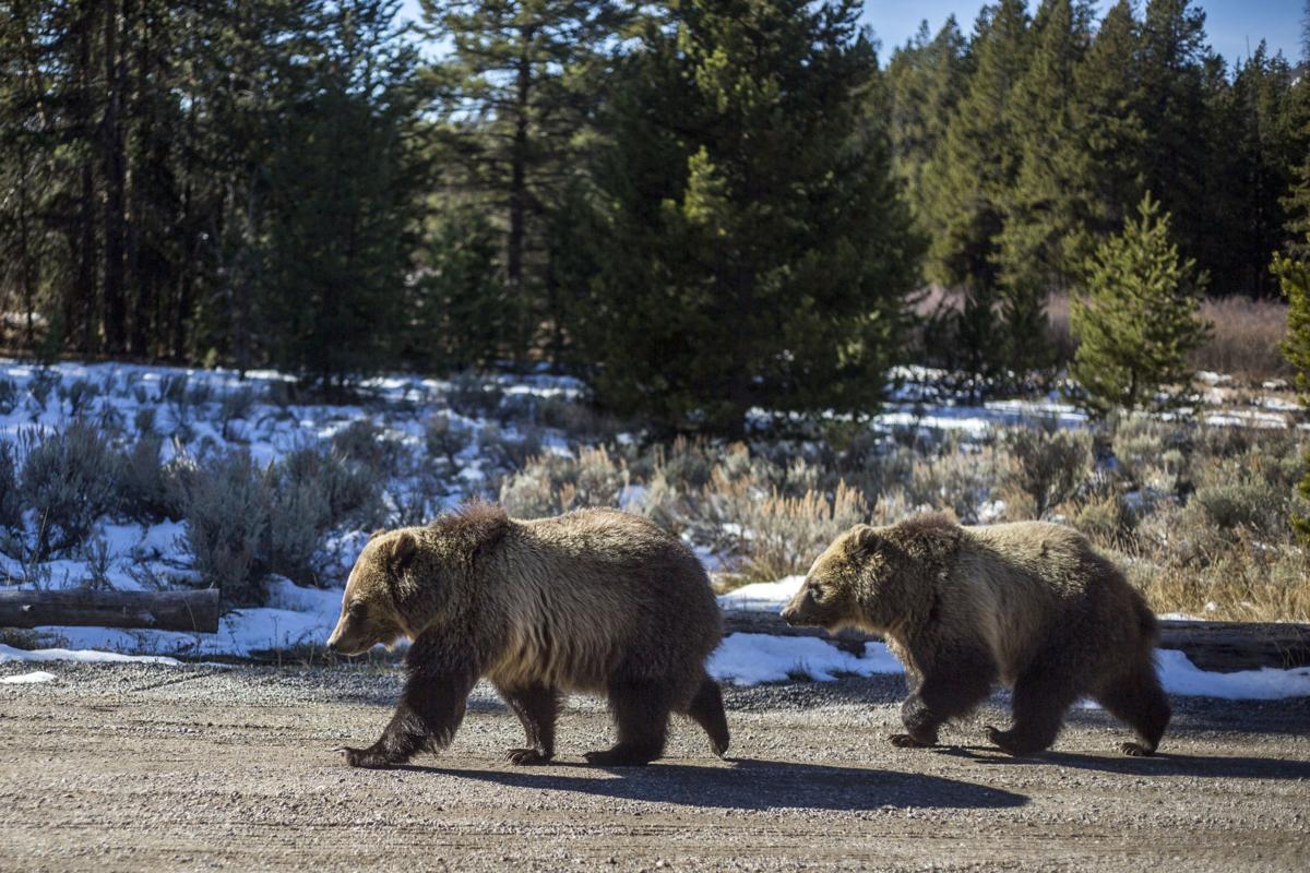 Grizzly bear 1022