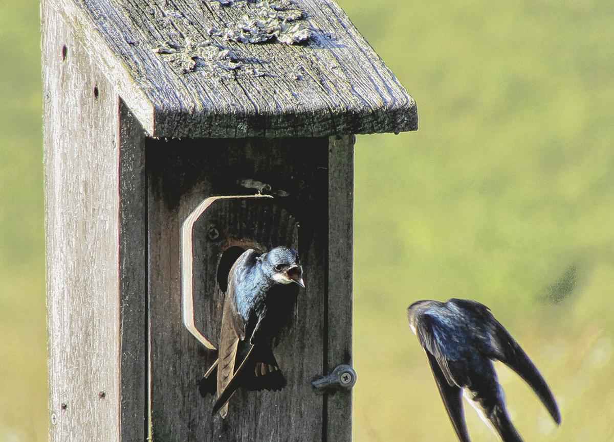 A tree swallow defends its nest