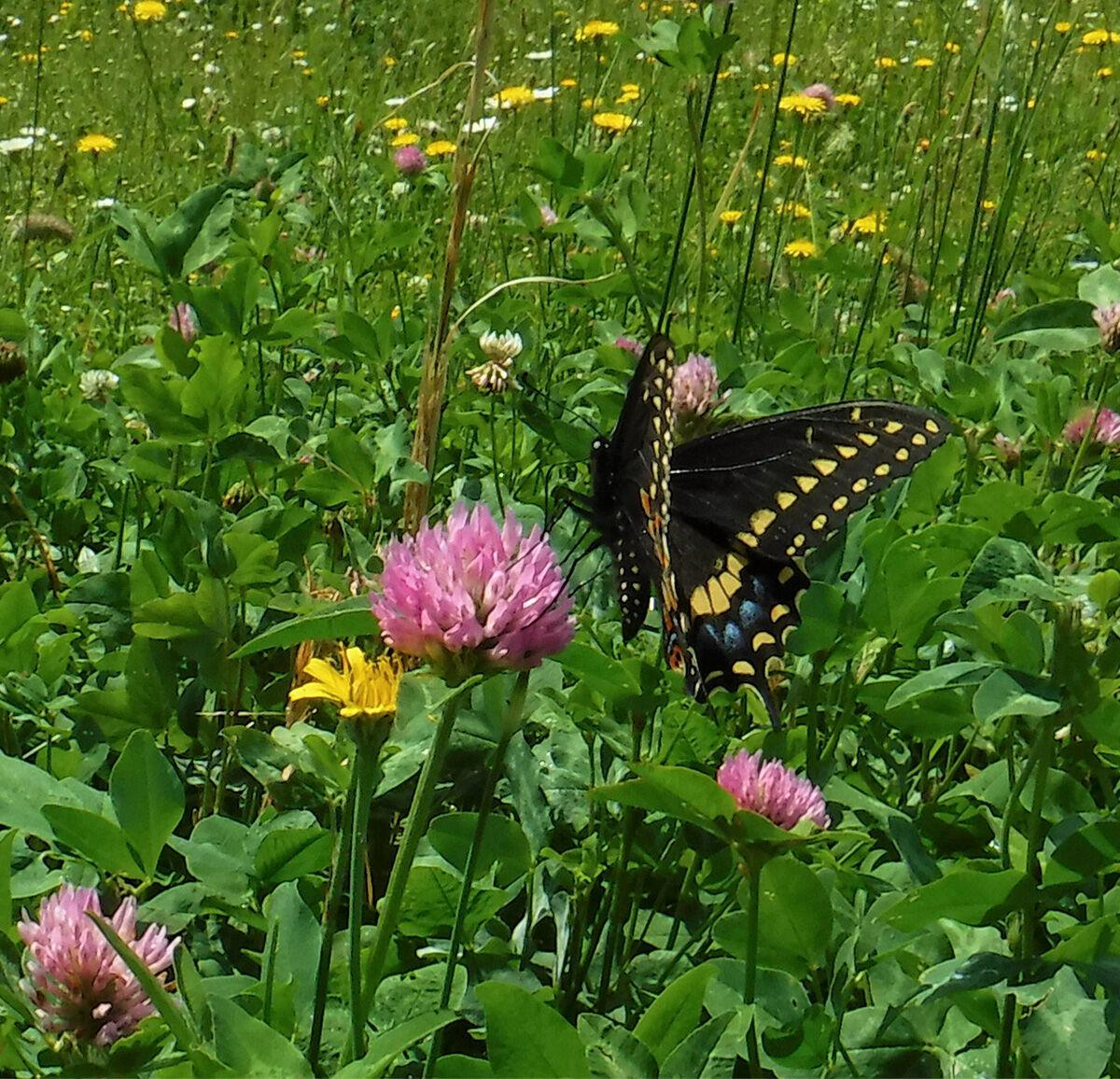'It's really all connected': Nature experts recommend food plots that benefit bees, butterflies