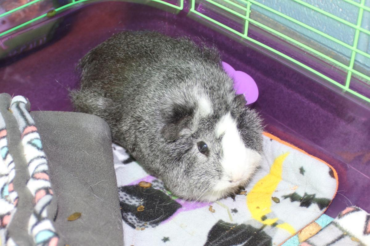Guinea Pigs 2