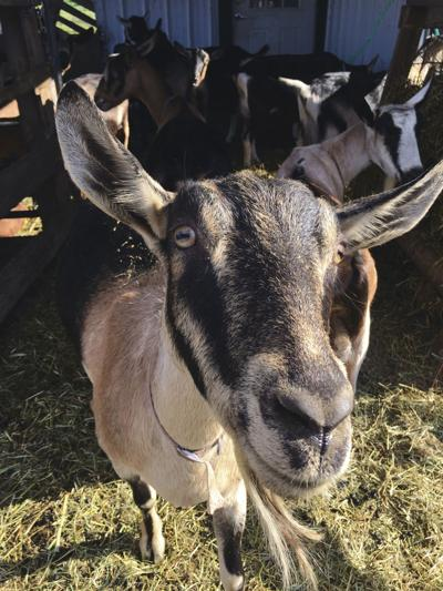 Goat's milk provides creamy base for many delicious dishes