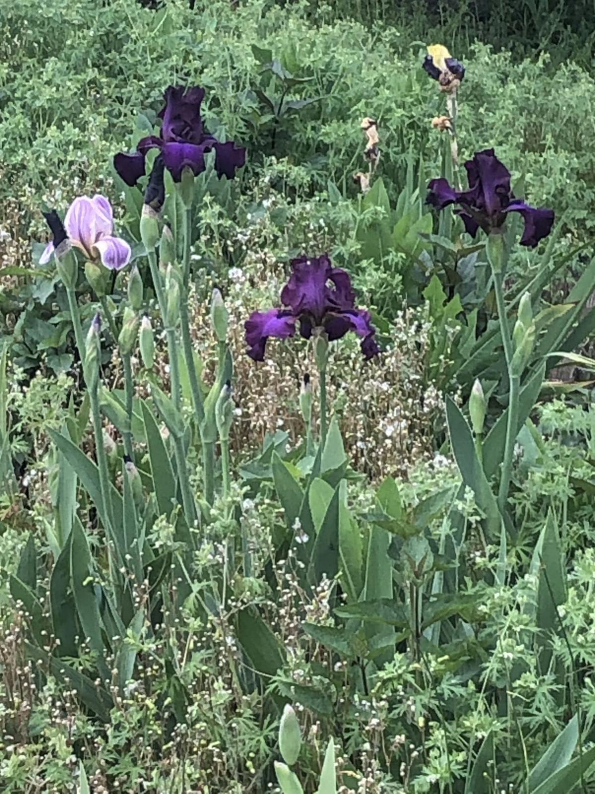 RG Iris 1