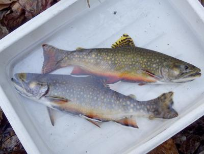 W.Va. Division of Natural Resources  to release native brook trout into  Eastern Panhandle watershed