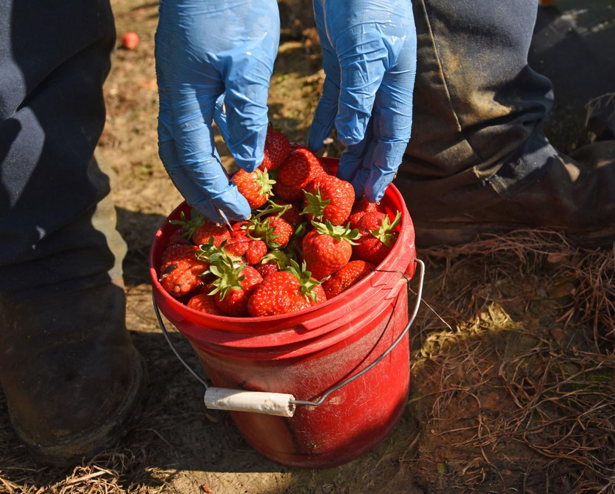 Country Roads Strawberries