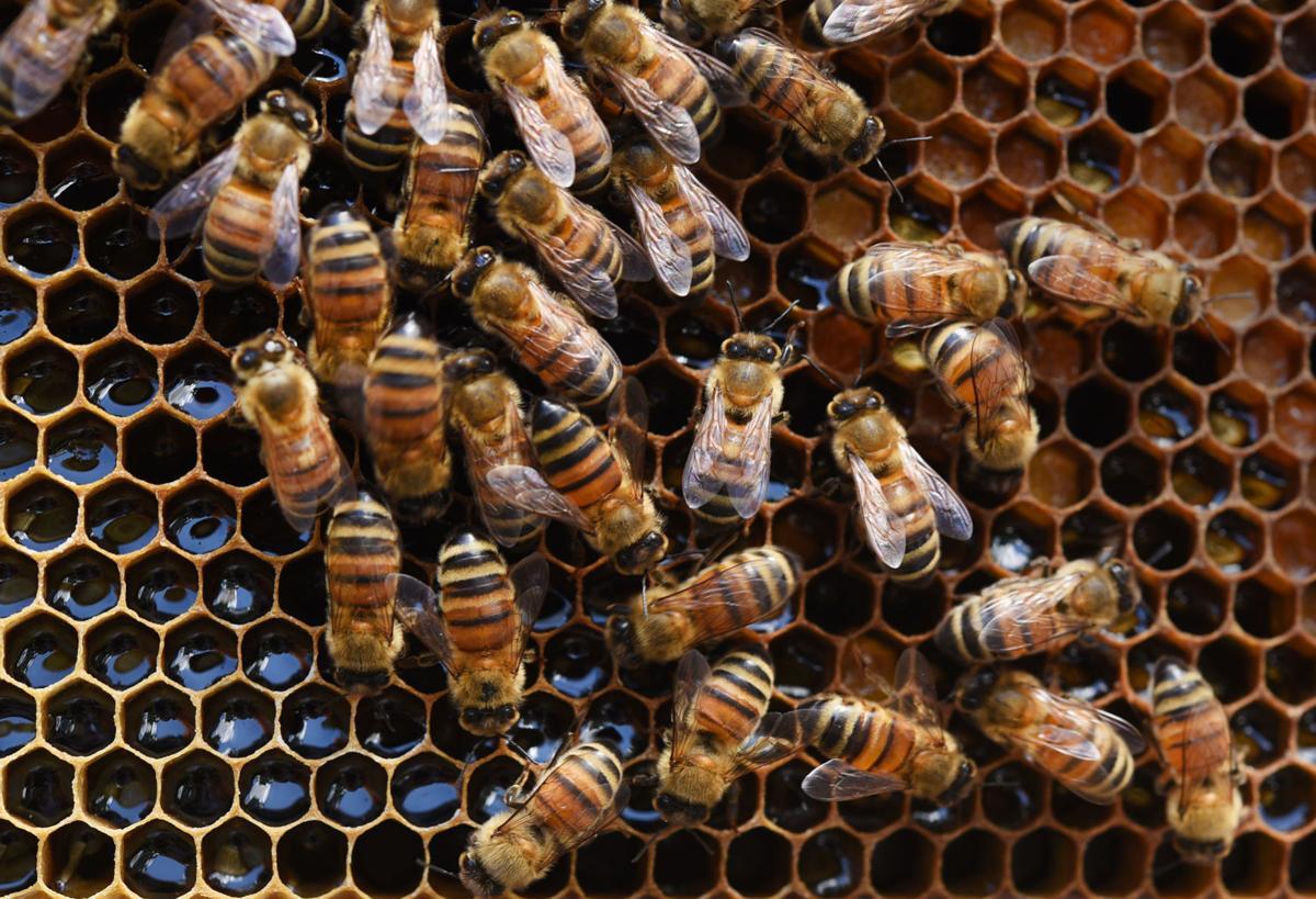 Desirae Balsamo bees
