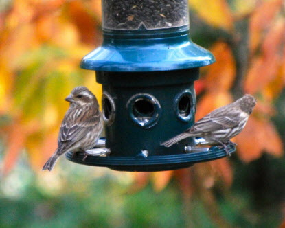 A Female Purple Finch Left And House Right Can Be Hard To Identify