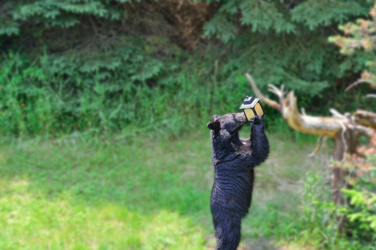 Bear at Bird Feeder