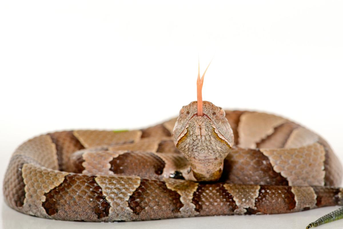 Eastern Copperhead