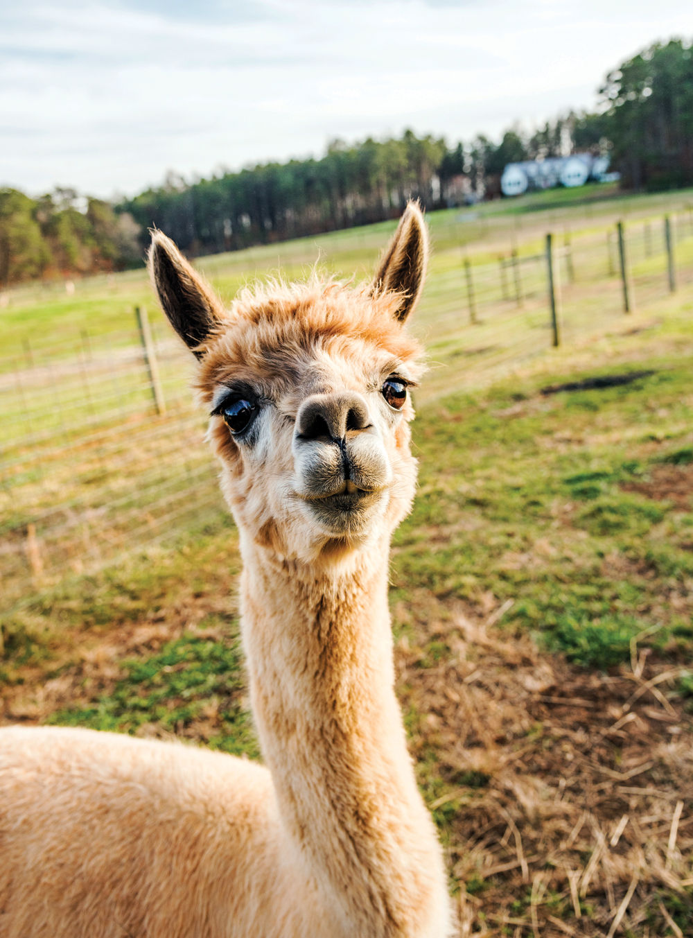 7e107ee4abc55b Alpacas, which resemble small llamas, are primarily bred for their fiber  (such as fleece). They stand around 3 feet tall and weigh 100-175 pounds.