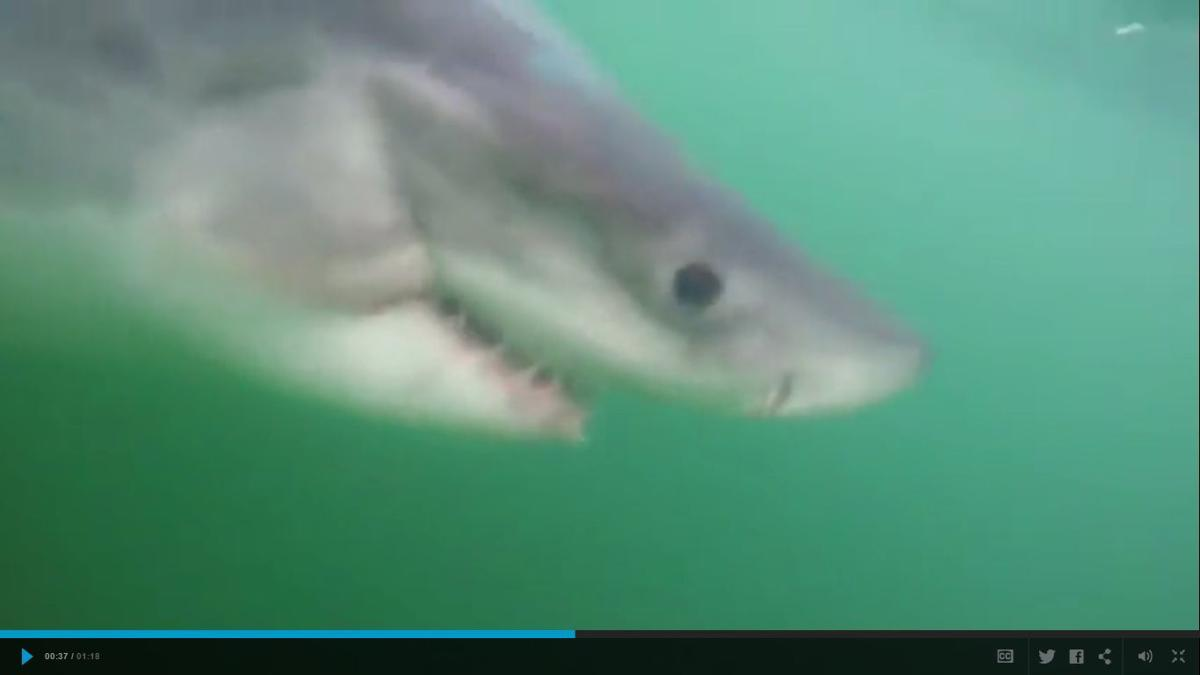 Watch great white shark caught released off hilton head for Outcast sport fishing
