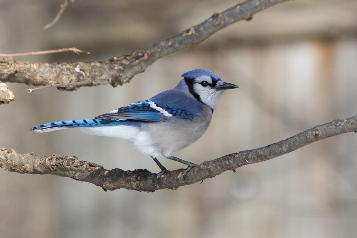 Birds The Blue Jay Is Not Everyones Favorite Bird But It Is