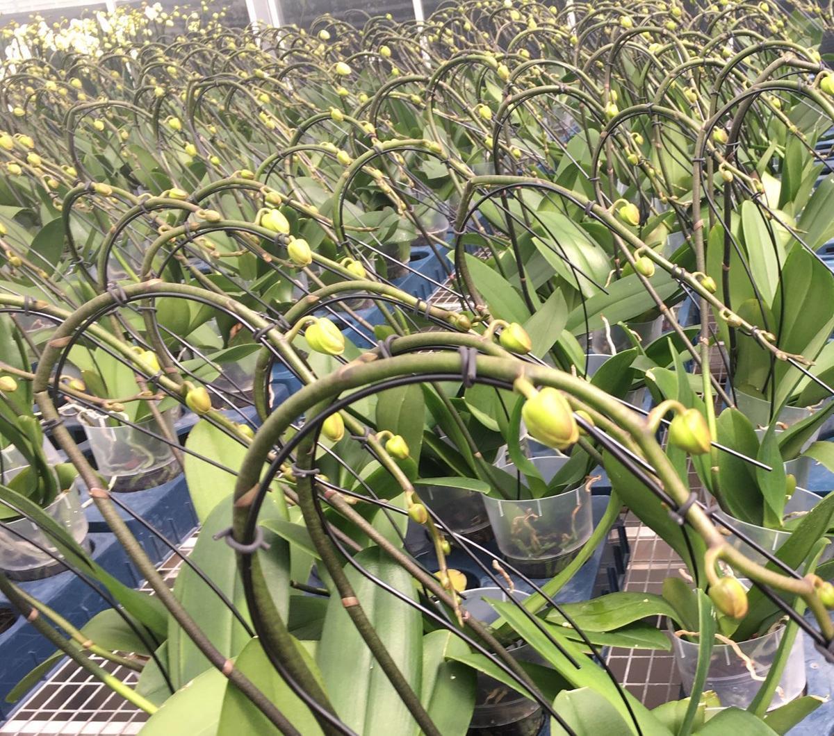 Trained Phalaenopsis