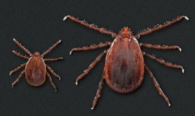 Asian longhorned ticks