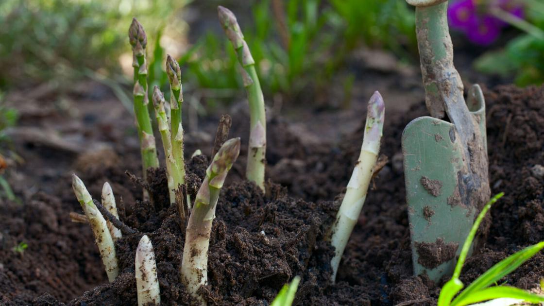 Putting the asparagus bed to bed
