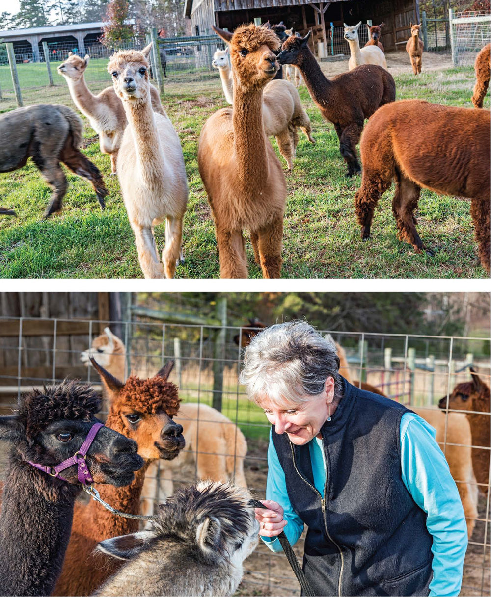 898eb7fe7b7059 Sandy Morris (pictured bottom) and her husband, Jim Morris, have over 30  alpacas on their farm in Walkertown.