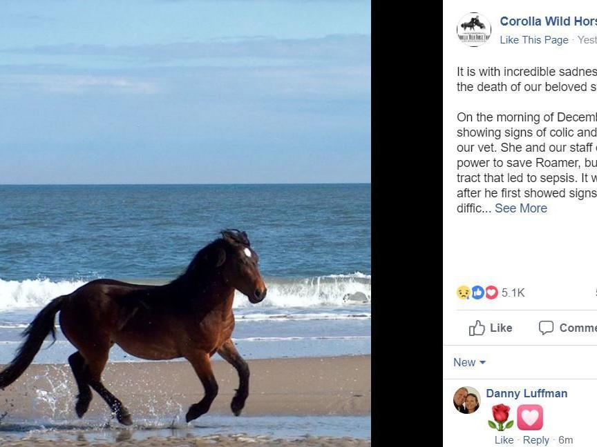 Wild stallion 'Roamer' — known for wandering among tourists on NC's outer banks — dies, Corolla Wild Horse Fund says