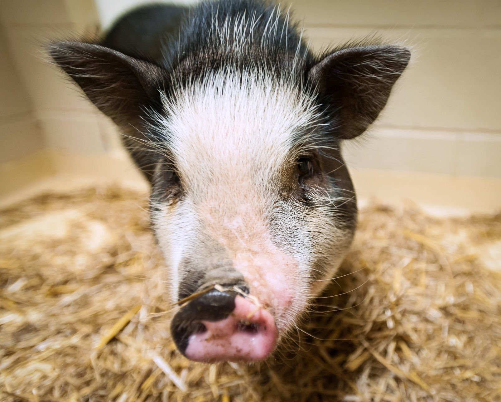 Wayward pig corralled by Forsyth deputy — but its owner remains a mystery   Winston Salem Journal