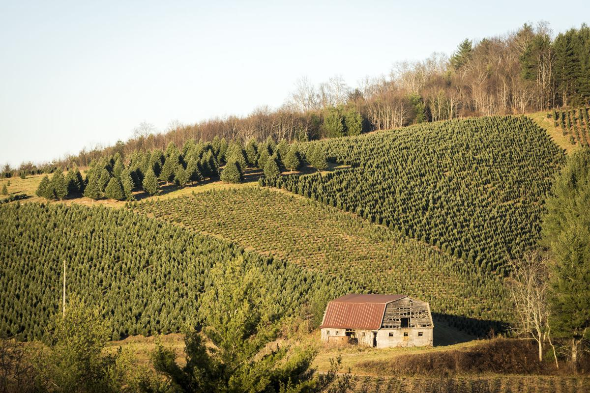 Christmas Tree Farms In North Carolina