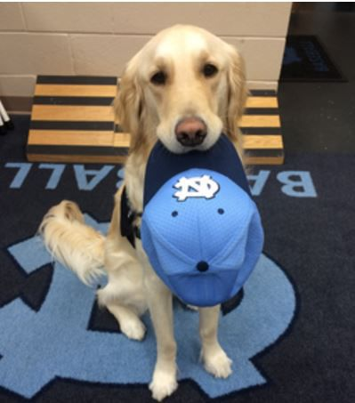 Image of: Dog Training Remmington 2yearold Golden Retriever Assists With Treatments Rehabilitation And Emotional Support For Unc Athletes Te Waha Nui Unc Baseball Team Embraces Medical Alert Service Dog State