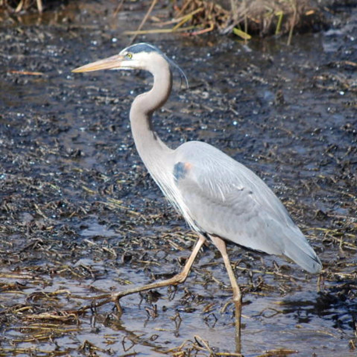 Great blue herons are common in the Piedmont | Food | journalnow.com