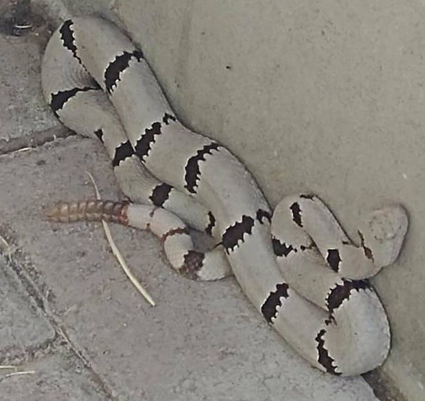 A White Rattlesnake Texas Park Posts Photo Of Viper That