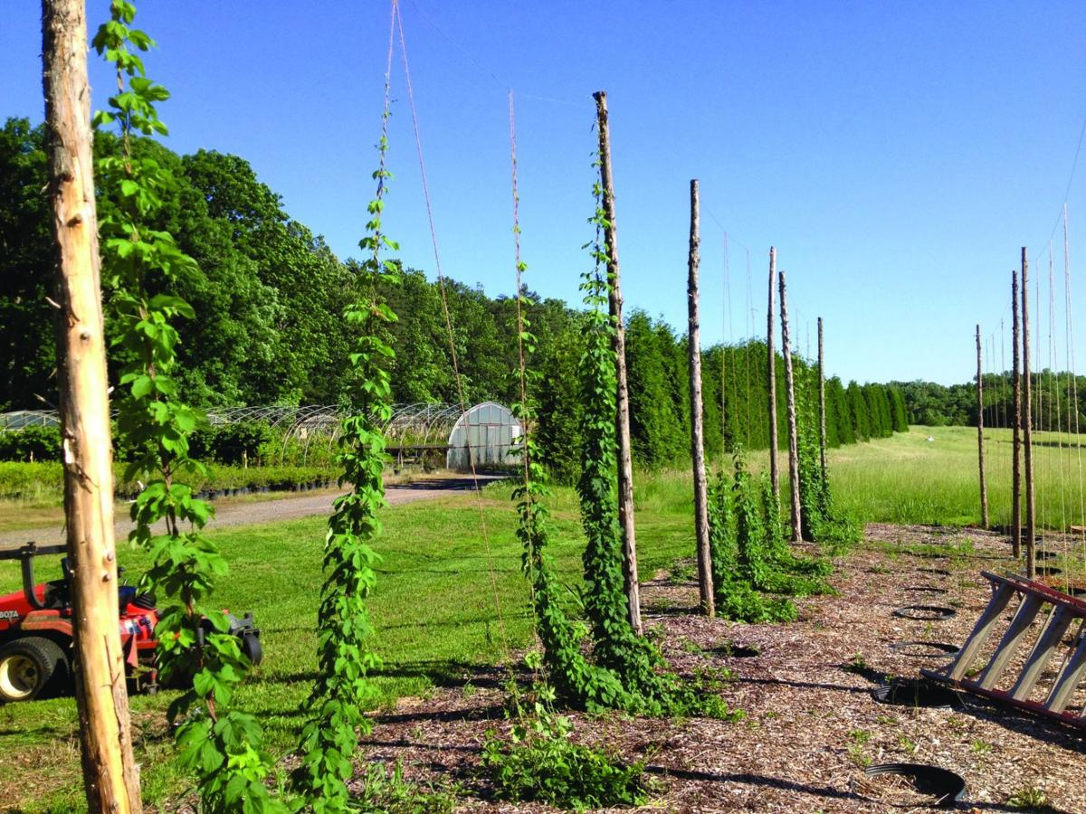 More People Starting To Grow Hops In This Region