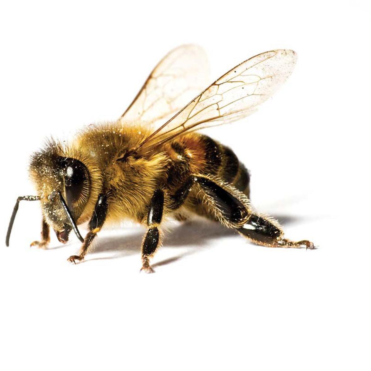 Not-so-killer bees | Taking Note | journalnow.com