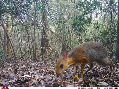 A tiny deer-like creature was feared extinct, but scientists just photographed it for the first time in a generation