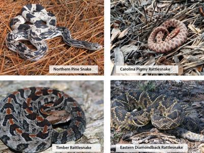 Threatened snakes