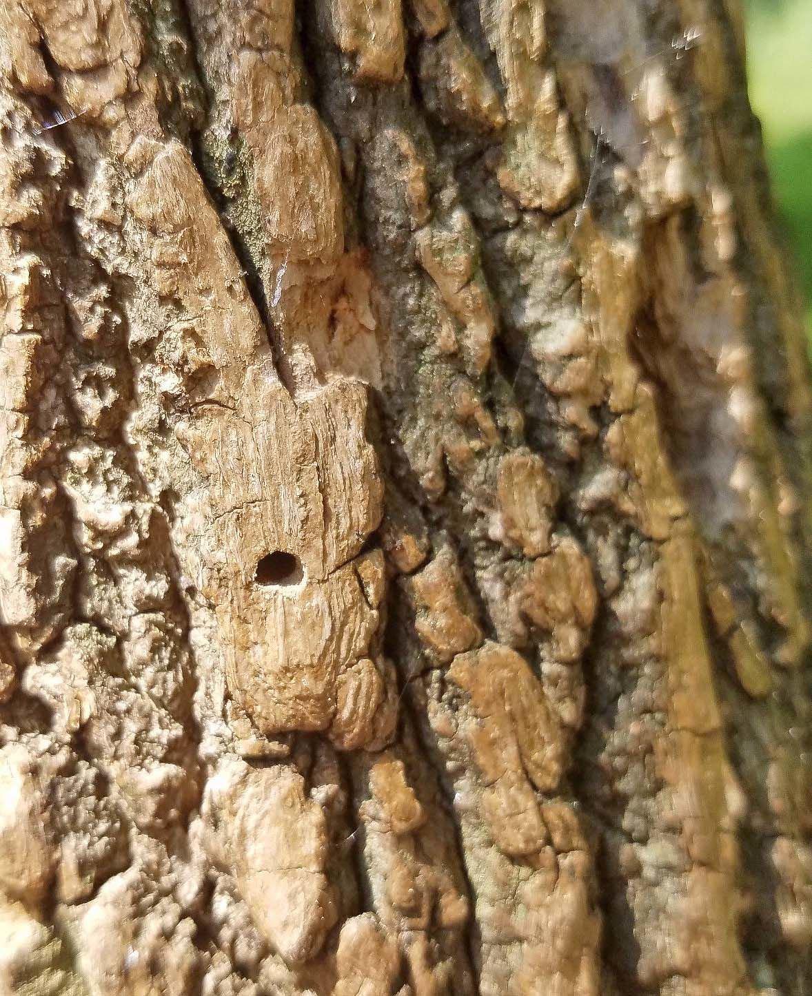 Ash borer hole